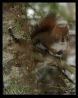 Squirrel looking at you by sillverrfoxx