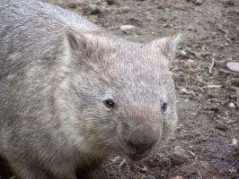 wombat. by LidiaL