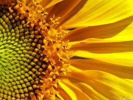 Sunflower by altafventis