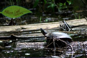 Pondering Turtle by AllisonDahl