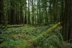 Oldgrowth Canadian Rainforest Stock by leeorr-stock