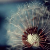 Dandelion I by LaylaRouge