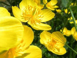 Stock: Buttercups by Stock-By-Crystal