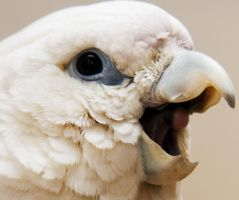 Baby cockatoo by Leeby