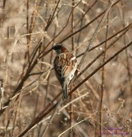 Camouflaged  Sparrow by panda69680102