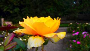 ::-A Side of Sunny Rose-:: by Starimo