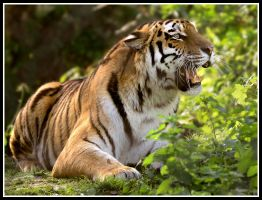 Siberian Tiger 5 by Wolfy2k4