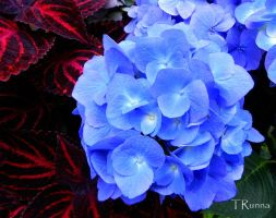Hydrangea with Coleus by TRunna