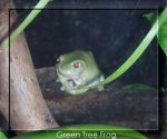 Green Tree Frog by christine202