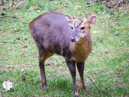 Muntjac Deer by Jack-In-The-Green