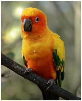 Sun Conure by GreenEyedHarpy