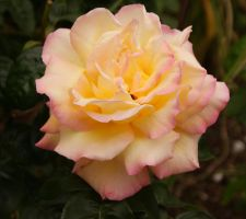 Rose1 - duel colour by scratzilla