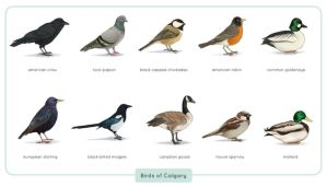 Common Birds of Calgary by astro-phase
