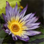 Our New Tropical Water Lily by Firey-Sunset