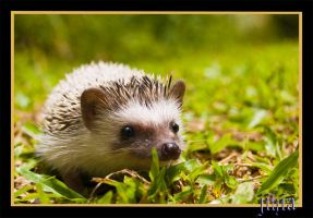 Hedgehog III by jihia