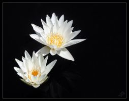 Twins _ Pond Lily by bitair