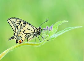 Papilio machaon by Bulinko