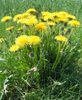Dandelions by FairyAndTurtleStock
