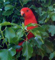 King Parrot by ricken4003