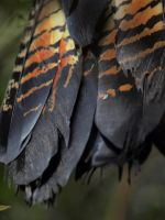 Tail Feathers by HempHat