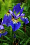 Blue Iris by EarthHart