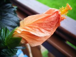 sleeping hibiscus by Lucy-Redgrave
