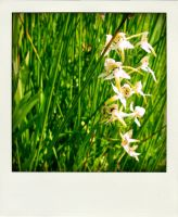 Butterfly Orchid by RoseSparrow