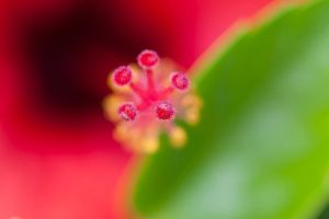 Hibiscus Close Up 1 by Amalphi