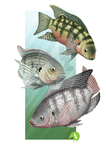 Tilapia Trio by SurrealisticPillow88