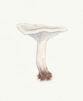 Clitocybe dealbata (Ivory funnel) by Thea-Nu