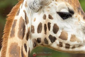 Close up - Giraffe. by Ravenith