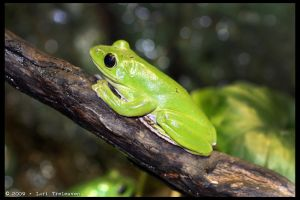Green Tree Frog 1 by Vamppy