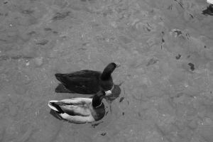 Ducks by Holly6669666