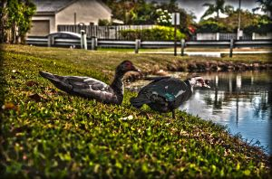 Duckies HDR by Mimek