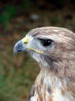 Red Tail Hawk XL by asaph70