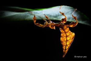 Juvenile leaf insect by melvynyeo