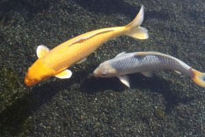 Yellow and White Koi Fish by GreenEyezz-stock