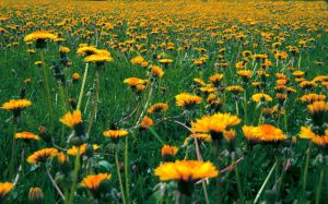 Feild Of Gold by brandontoomey