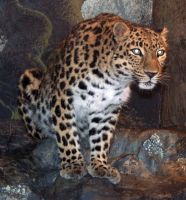 Denver Zoo 41 Leopard by Falln-Stock