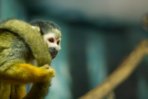 Squirrel Monkey by Shiryu37