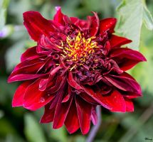 Red Bloom by sequential