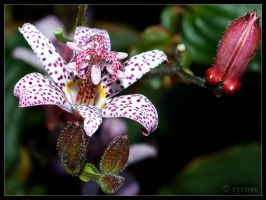 Toad Lily by cycoze