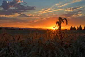 Wheat and Sunset by Polyrender