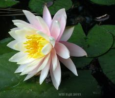 Water Lilly - 003 by SurfTiki
