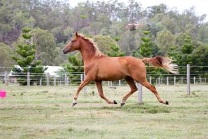 Dn wb chestnut trot elevated side view by Chunga-Stock