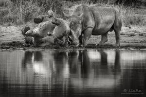 Rhino Mud Bath by LinRuPhotography