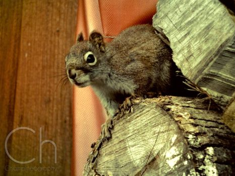 Squirrel by Champineography