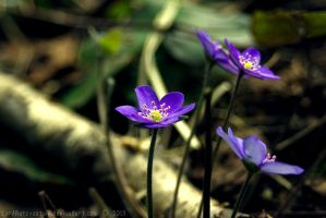 Hepatica by LordBurevestnik