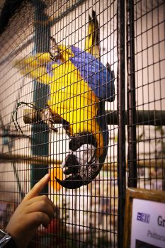 Macaw and finger by couinette