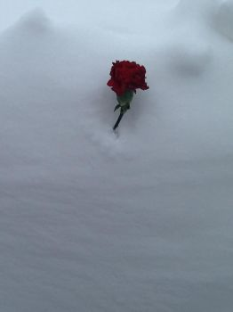 A Rose in the Snow by BrohoofTheWorld